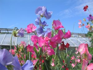 HOW TO GROW SWEET PEAS WITH KIDS