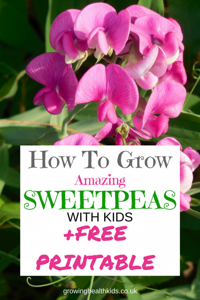 Grow sweetpeas with kids