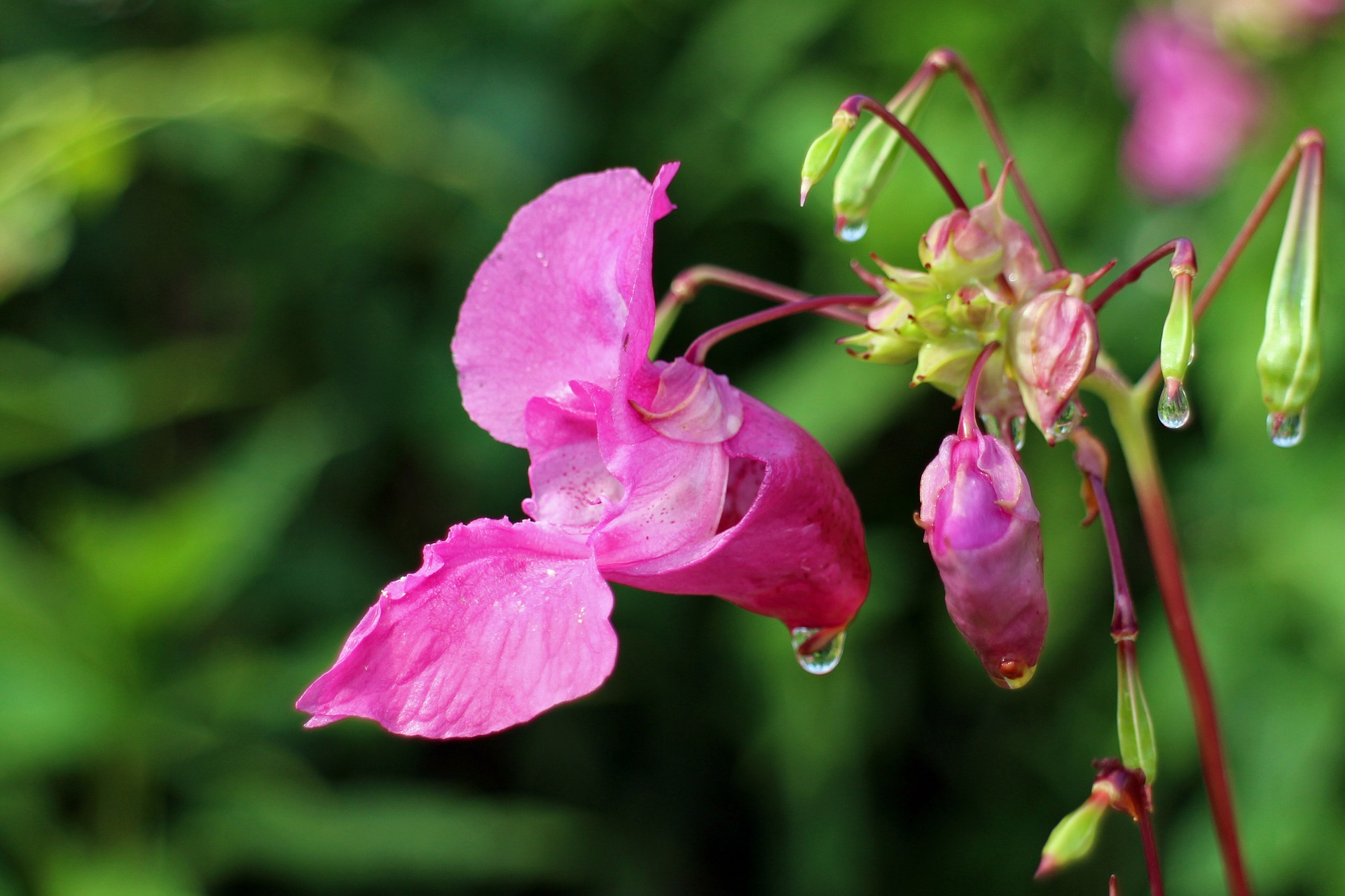 Forage for himalayan balsam