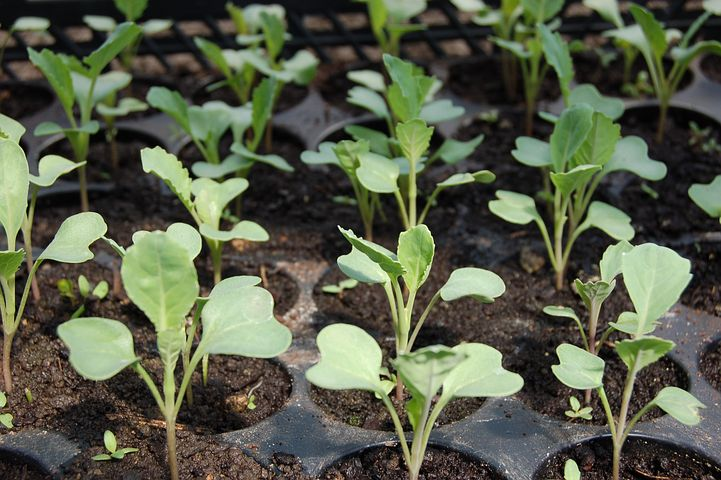 Sow seedlings for Autumn and get a quick crop. Or grow over winter varieties for next Spring