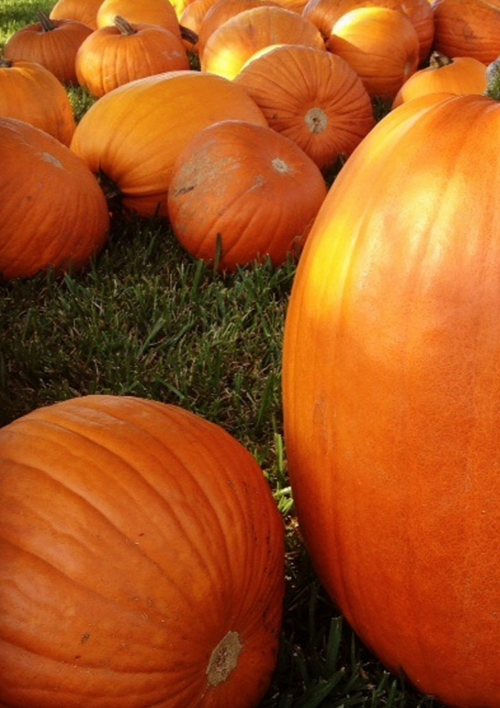 PUMPKINS provide so much entertainment and delicious foor in Autumn. Soup, muffins and pie. Yum.