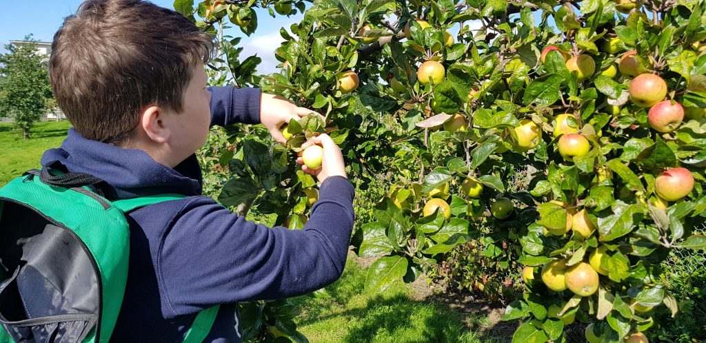 Foraging for apples.