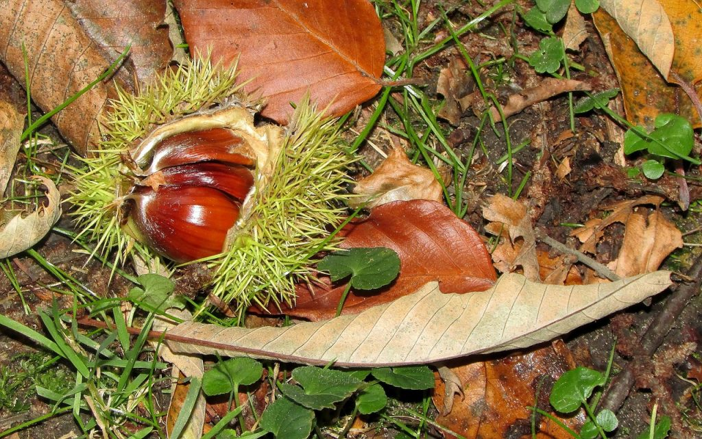 Foraging for sweet chestnuts is a fun family activity. Look for a large tree with spikey round cases. Can be used in lots of recipes like mont blanc or roasted