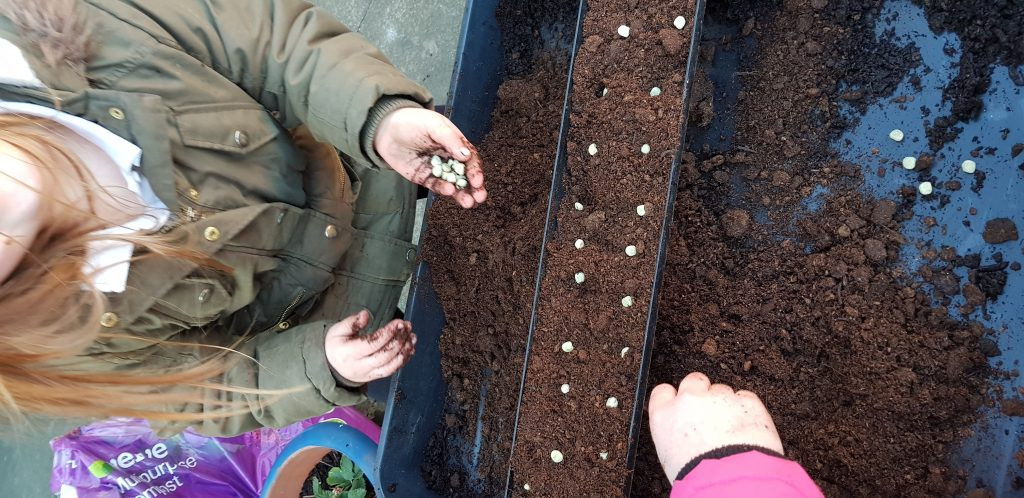 Sowing peas for the vegetable garden is easiest done in guttering