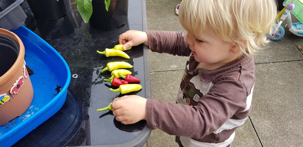 Chillies are a super plant for kids to grow and harvest