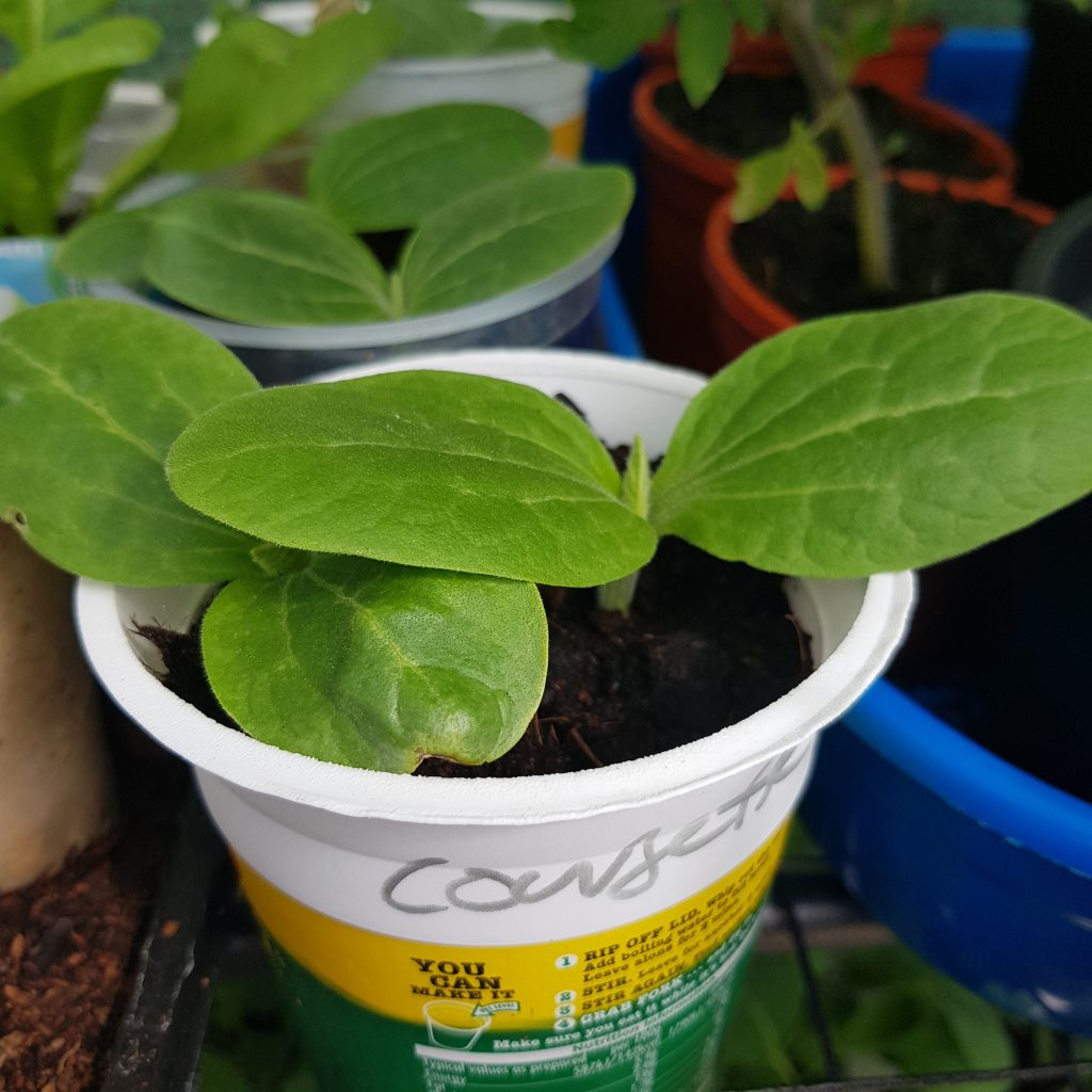 Reduce plastic and sow seeds like courgette seeds