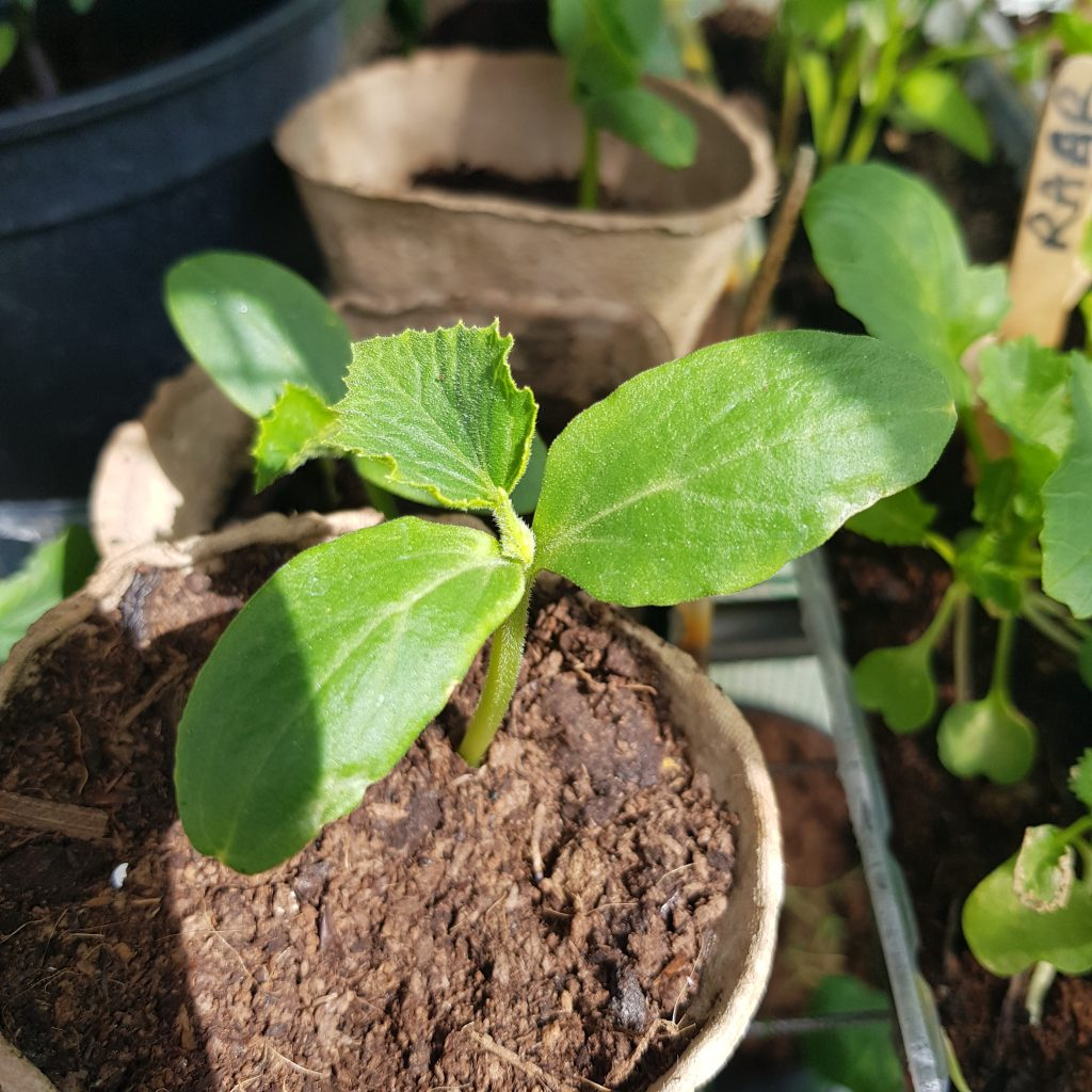 Reduce plastic and use paper cups for seed sowing