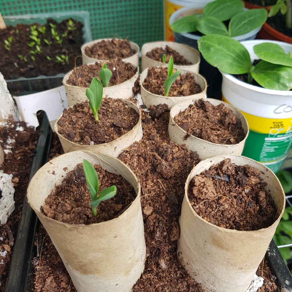 Reduce plastic by reusing loo roll tubes as seed pods.