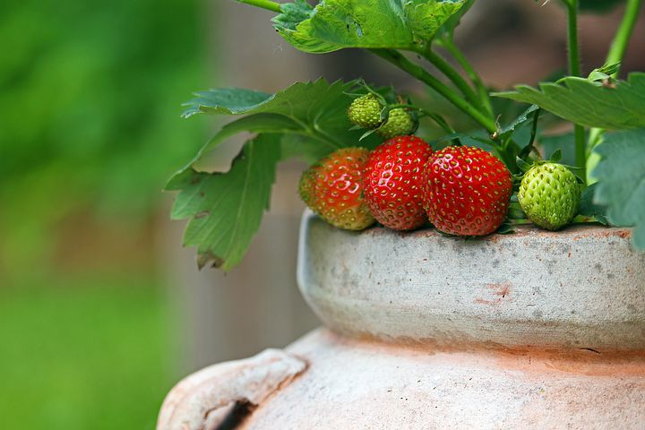 Strawberries benefit from being weed free and other gardening problems