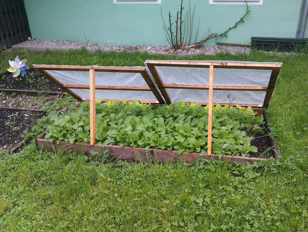 A cloche or cold frame is helpful