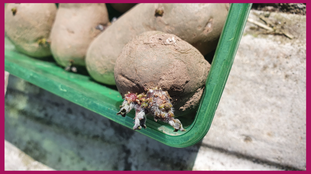 Chit or sprout potatoes before growing them. Helps to speed up the process.