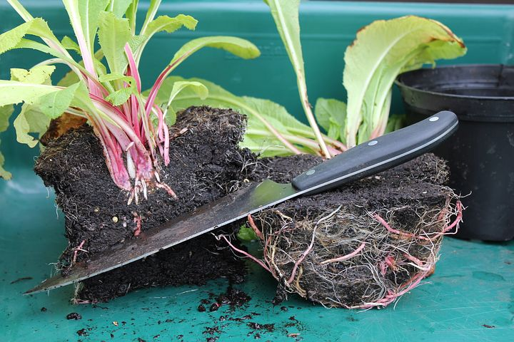 Dividing plants using a knife can save money in the garden