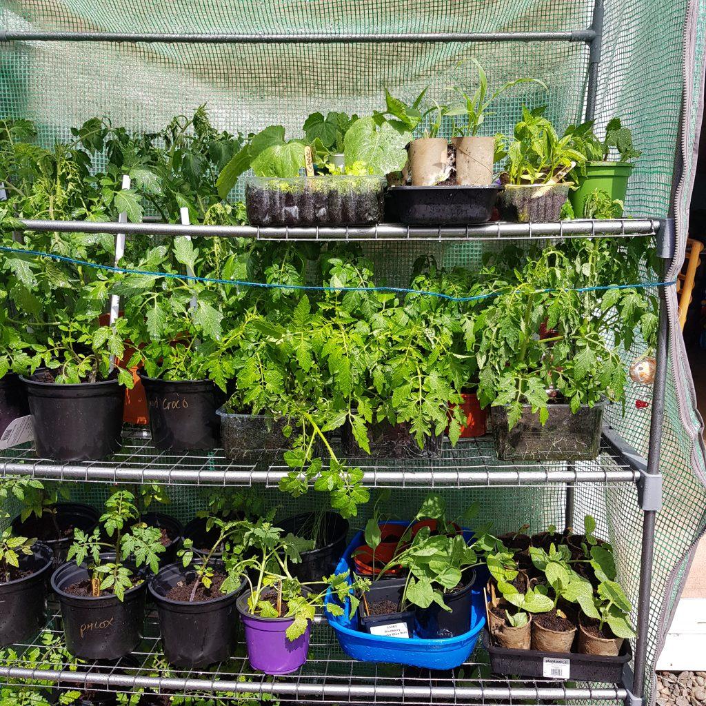 Healthy hardened off seedlings
