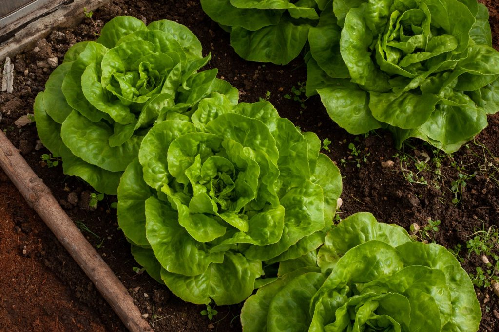 Lettuces enjoy part shade and shallow beds so grow well in a raised bed