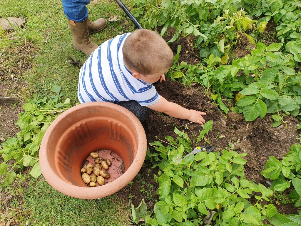 Boy collecting potatoes in the veg garden perfect plants in best plot.