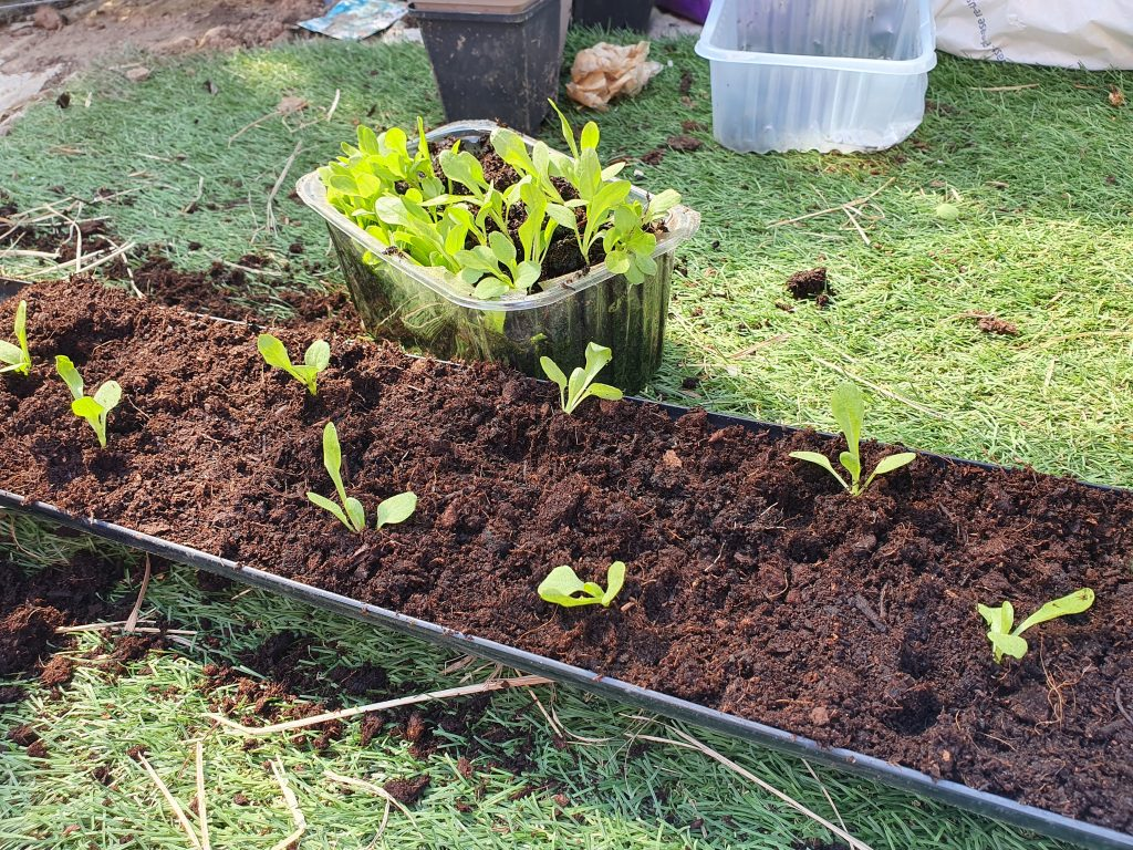 Salads with grow in guttering and shallow containers